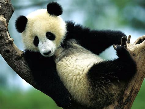 Panda Wallpapers 171 Nat Geo Adventure