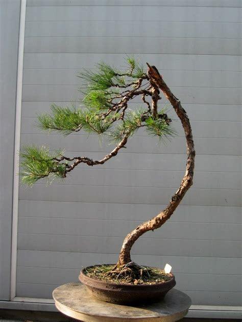 literati bonsai tree types indoor bonsai tree bonsai tree
