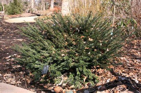 Cephalotaxus Duke Gardens by Cephalotaxus Harringtonia Duke Gardens 5th St