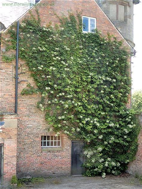 climbing plants facing wall 12 graines hortensia grimpant hydrangea petiolaris g181