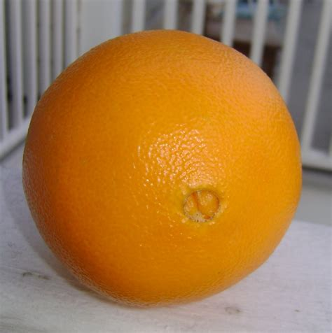orange sales buy navel orange trees for sale in orlando florida