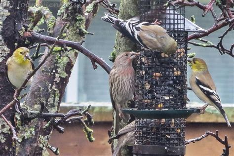 backyard birds pacific northwest pacific northwest photography backyard birds goldfinches