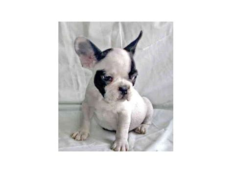 affordable bulldog puppies bulldog puppies for sale at affordable prices nelspruit ehlanzeni puppies