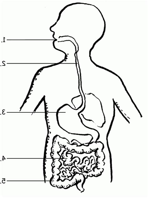 Digestive System Coloring Page Coloring Home Digestive System Color Pages
