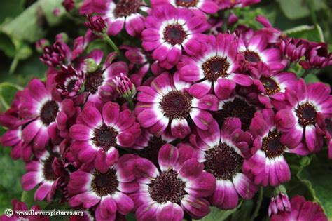 flower pictures cineraria picture 19