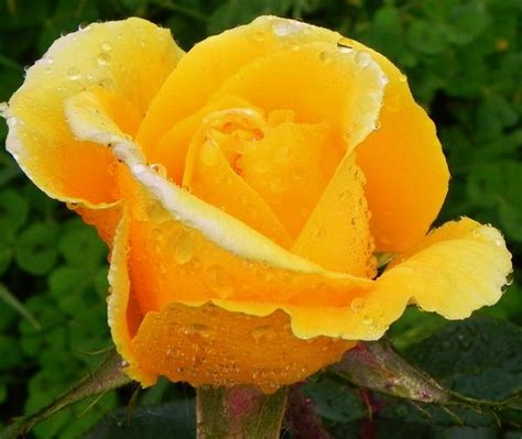 imagenes de rosas hermosas amarillas fotos de flores rosas amarillas rosas amarillas pinterest