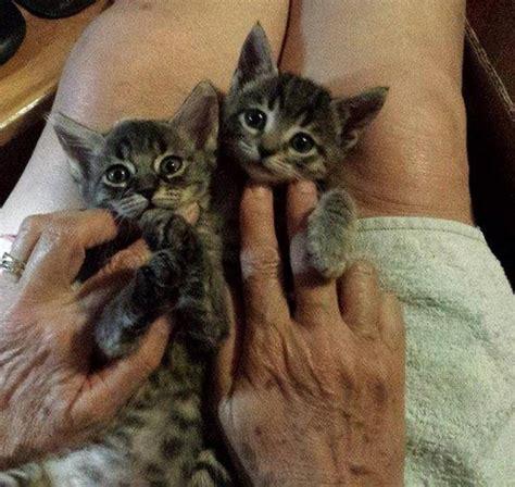 protezione animali pavia pavia cercano casa le due gattine lanciate da un auto 1