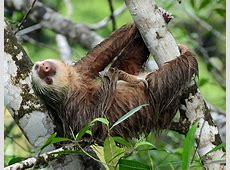Hoffmann's two-toed sloth - Wikipedia Koalas Habitat And Diet