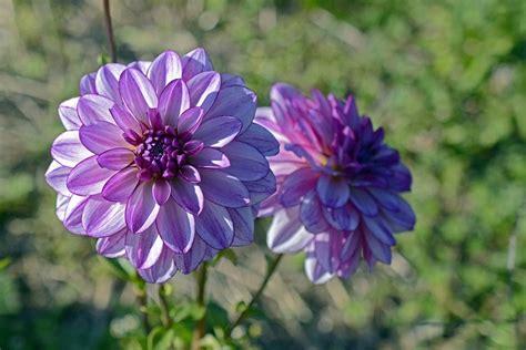 la flor de dalia laberinto la flor de dalia laberinto la flor de dalia laberinto 191