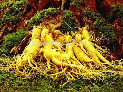 Ginseng China 12 seeds stratified hardy panax ginseng korea
