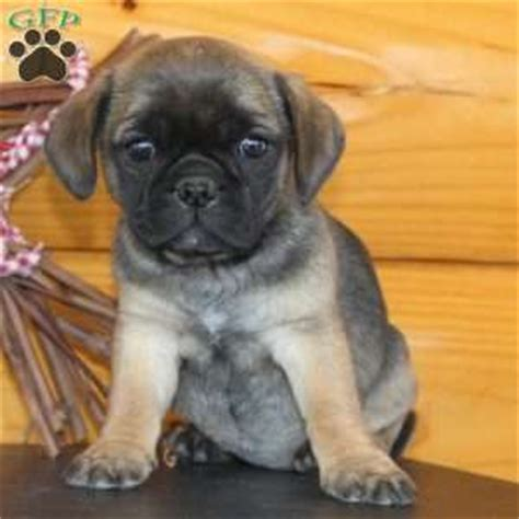 pug puppies ny pug mix puppies for sale in de md ny nj philly dc and
