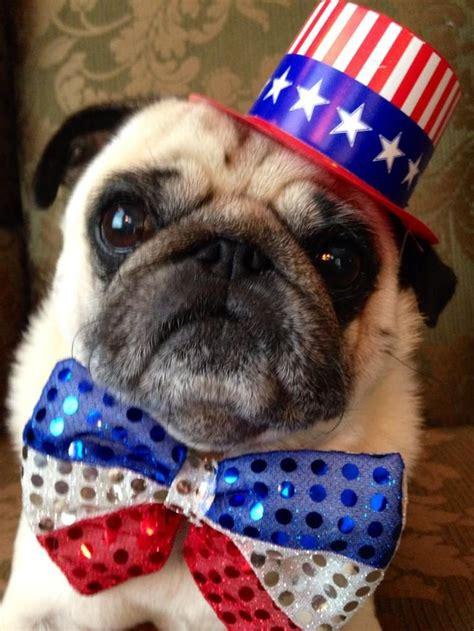 patriotic pug 1000 images about patriotic primeauxs on white blue snow cone