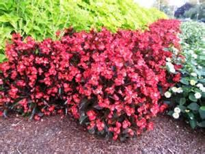 Garden Begonia Begonia Begonia Semperflorens Great Container