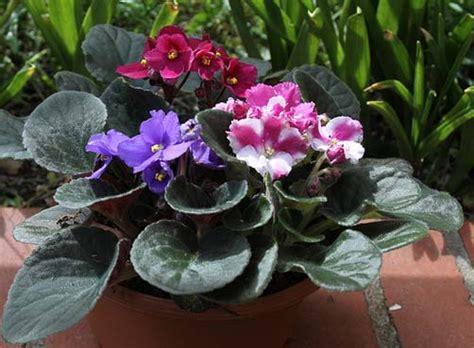 Como Cuidar De Violetas Africanas | como cuidar das violetas africanas coisas da terra