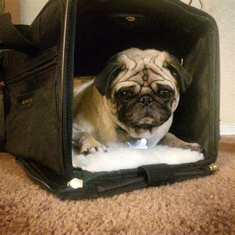 can pugs fly the notorious pug everything you need to about pugs