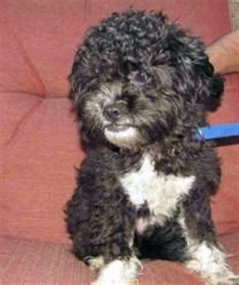 shih tzu lhasa apso poodle mix dogs on poodle standard poodles and great danes