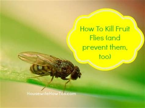 How To Kill House Flies by How To Kill Fruit Flies And Prevent Them