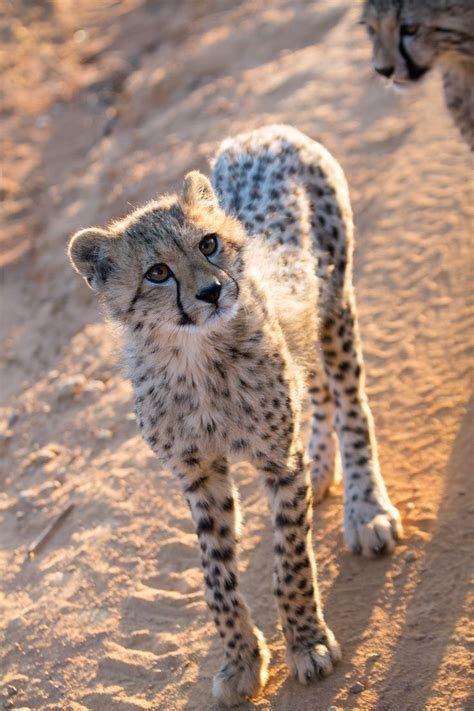 cheetah and best 25 baby cheetahs ideas on cheetahs baby