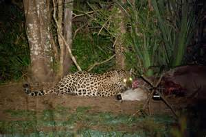 Jaguar Kill Jaguars Fight Kill Oncafari Jaguar Project