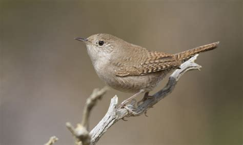 house wren birds of north america online