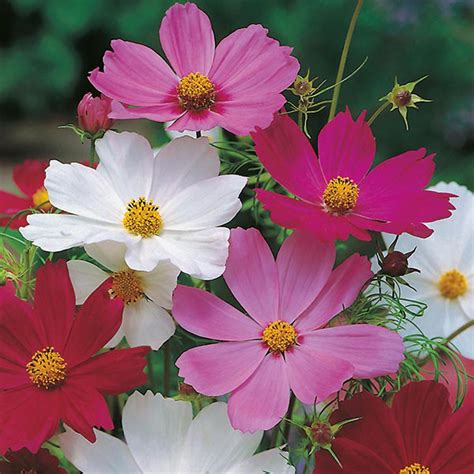 Bibit Tanaman Kenikir jual bibit benih biji bunga cosmos sensation mixed