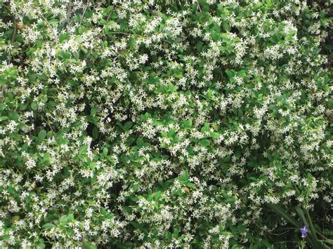 evergreen climbing plant 1000 ideas about climbing vines on vines
