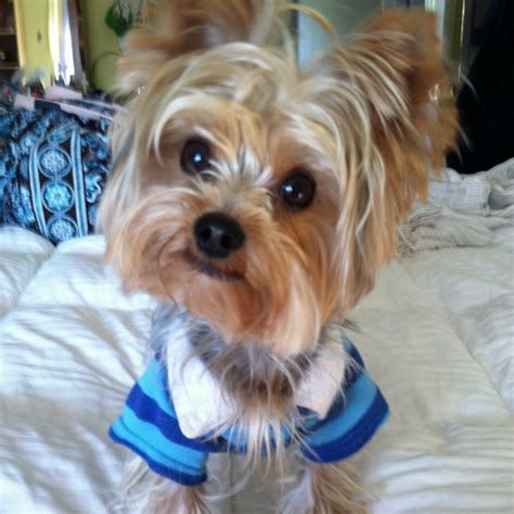 maltese yorkie haircuts 73 best images about my future dogs on pinterest puppys