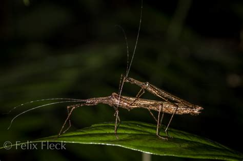 stick insects phasmatodea buggin