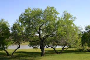 Tree Tx Simmons Oak Farms Wholesale Nursery Trees For