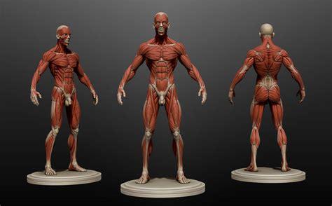 Kitchen Designers Jobs by Male Anatomy Ecorche 3d Model Obj Ztl Cgtrader Com