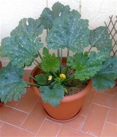 coltivare le zucchine in vaso zucchine sul balcone orto in balcone