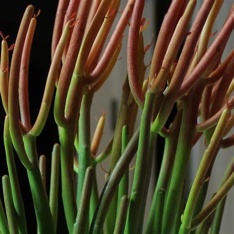 Cactus Pencil pencil cactus