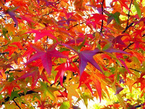 autumn leaves free stock photo public domain pictures