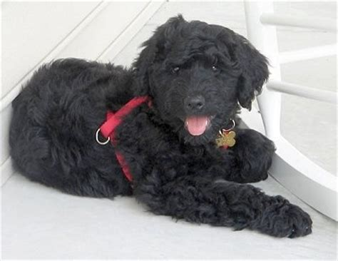 rottweiler hypoallergenic 1000 images about hypoallergenic doggies on berdoodle poodles