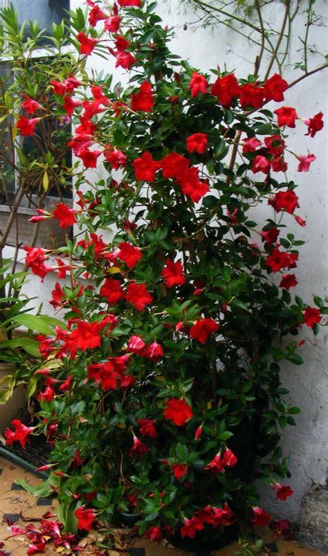 Mandevilla Plant Pictures mandevilla junglekey fr image 100
