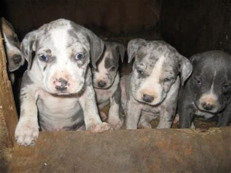 merle pitbull puppies blue merle pit bull puppies 187 pit bull social pit bull social networking