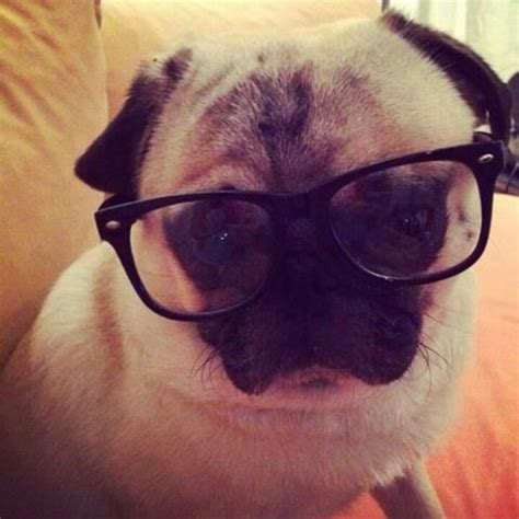goggles for pugs pug with glasses micraattitude uk animals aww