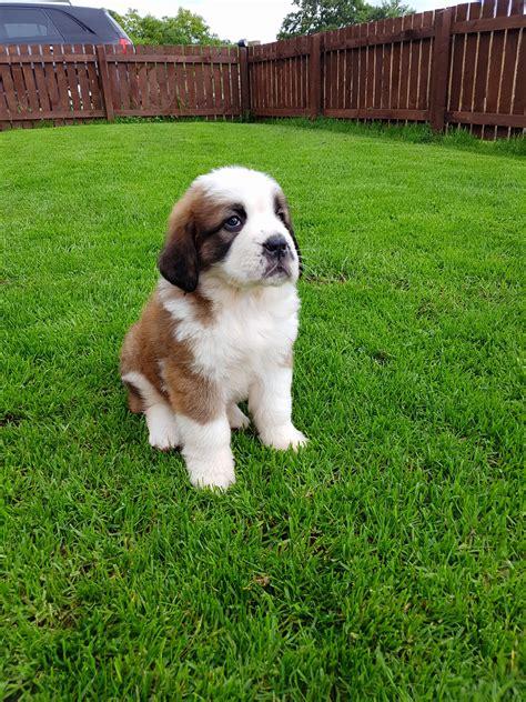 puppy bernard st bernard puppies www pixshark images galleries with a bite