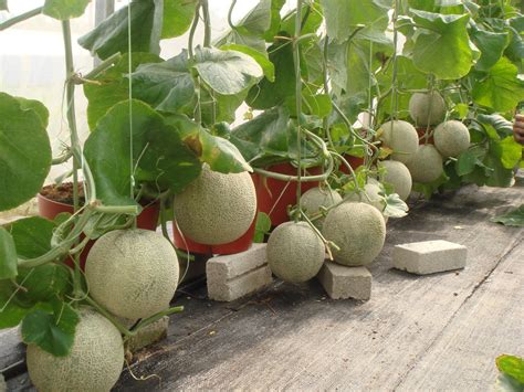 Melon Trellis Homemade Hydroponic Systems With A Simple Way Homemade