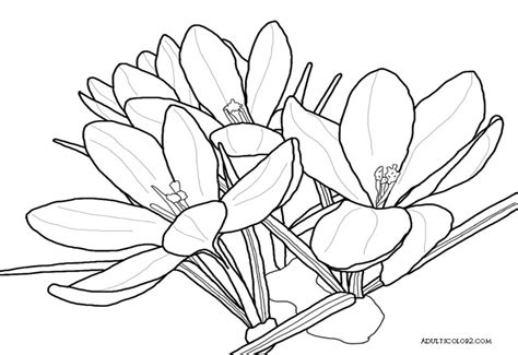 crocus flower coloring page drawing of a crocus coloring page of spring flowers