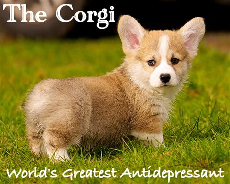 Corgi Meme - corgi meme www imgkid com the image kid has it