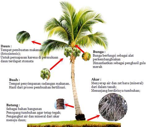 manfaat  setiap bagian pohon kelapa  complete