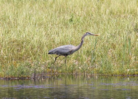 How The Great Blue Heron Got Its Lunch Huffpost Blue Heron