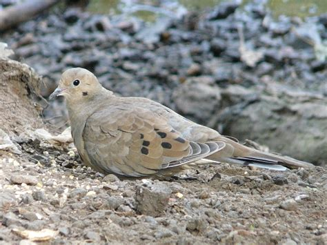 toronto wildlife more mourning doves