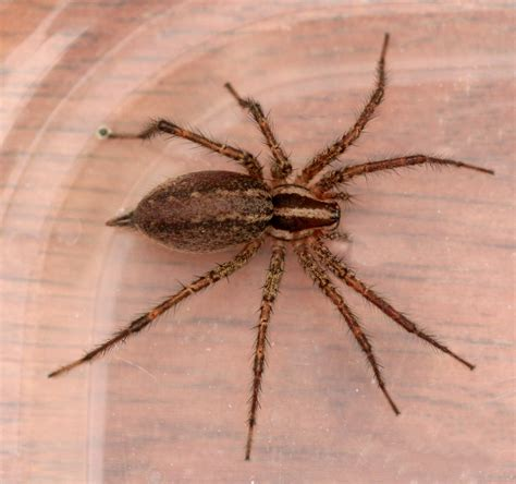 brown recluse image brown recluse free large images