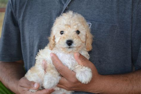puppies for sale in puppies for sale in melbourne ameys puppies