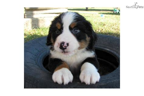 bernese mountain puppies for sale near perry iowa akc marketplace bernese mountain puppy for sale near sioux city iowa be7a5dfc c661
