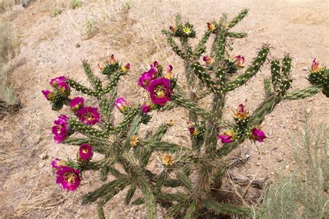 blooming cholla cactus naturetime