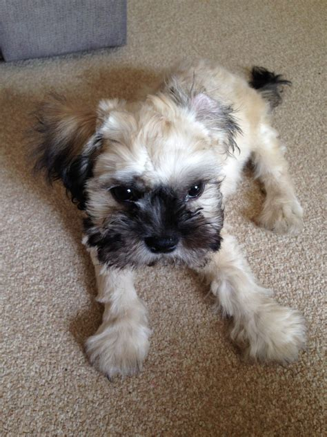 shih tzu 2 months 4 month shih tzu wellingborough northtonshire pets4homes