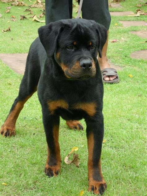 german rottweiler puppies for sale in colorado the 25 best rottweiler for sale ideas on